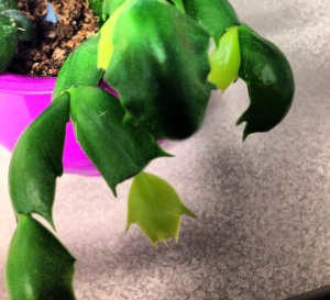 New leaves on a Christmas cactus.